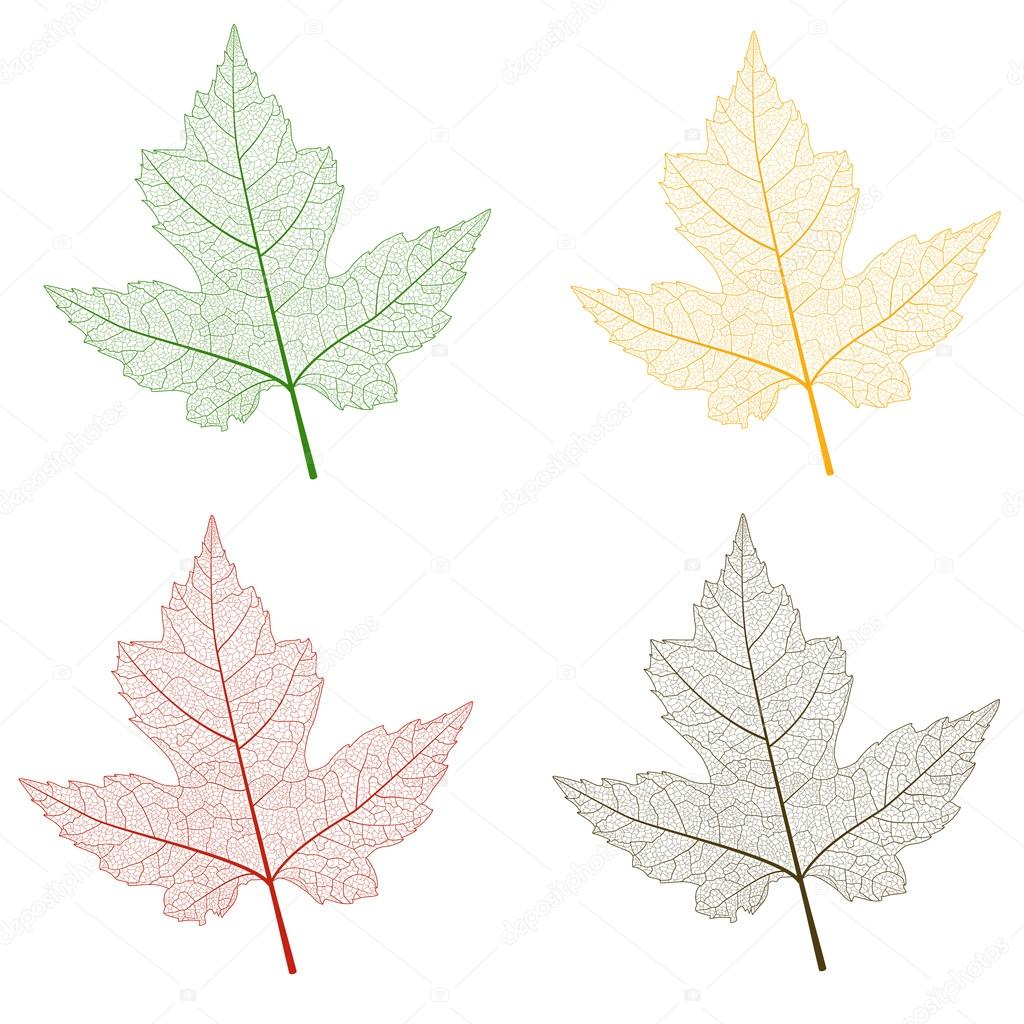 Leaf color  maple isolated .