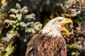 Fotografie Weißkopfseeadler kreischt Warnung