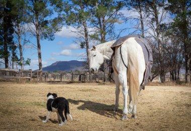 Irritated horse pausing his eating because of teasing dog