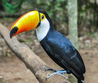 Colorful toucan at Iguazu Falls,  Brazil