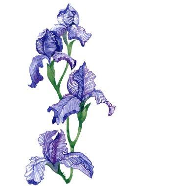 Watercolor isolated iris vector illustration.
