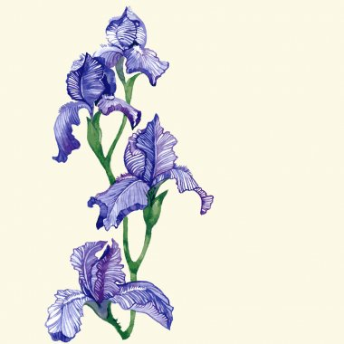 Watercolor isolated iris vector illustration.