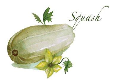 Watercolor squash vector illustration