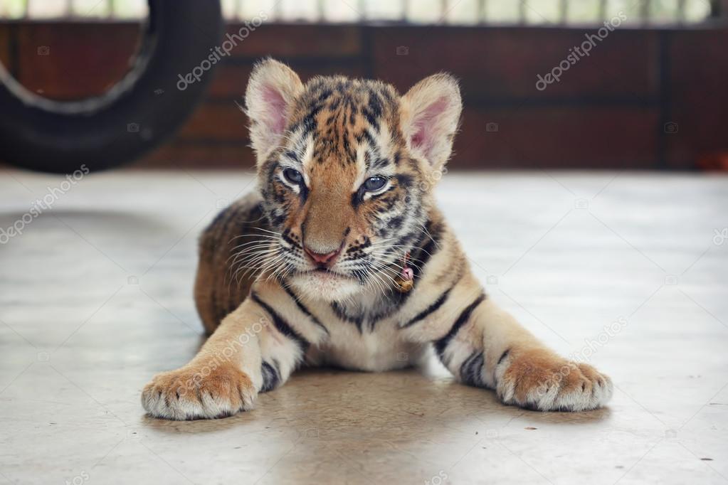 Fabuloso Tigre bebê fofo com sono. Filhote de tigre pequena. Tigre bebê  MF19