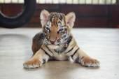 Sleeping cute baby tiger. Small tiger cub. Funny baby tiger.