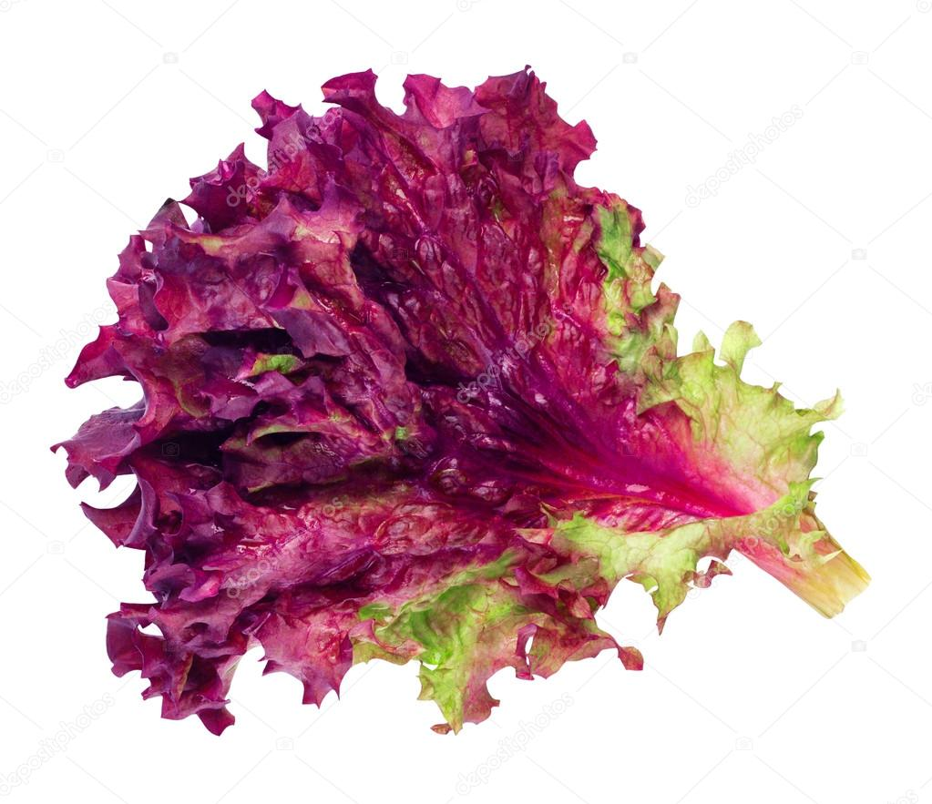lollo rosso purple lettuce leaf isolated on white background stock photo alterphoto 109479438. Black Bedroom Furniture Sets. Home Design Ideas