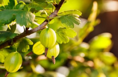 Gooseberry in the garden with sunlight