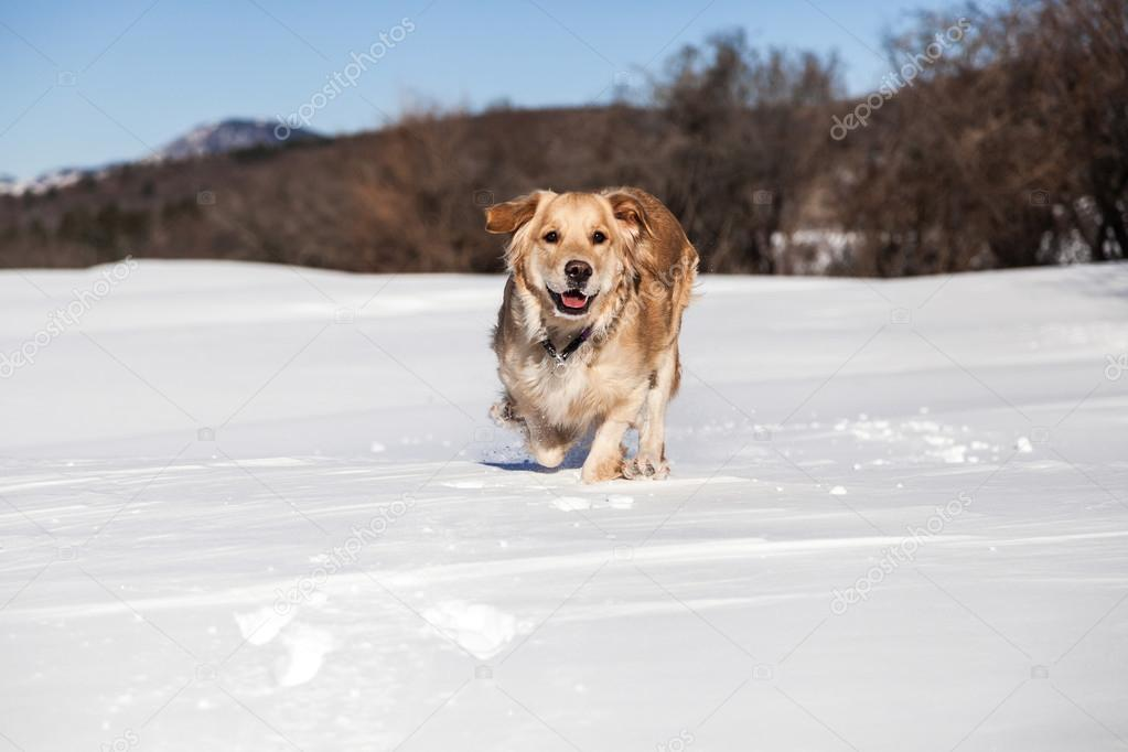 Labrador retriever dog playing in snow in the winter outdoors