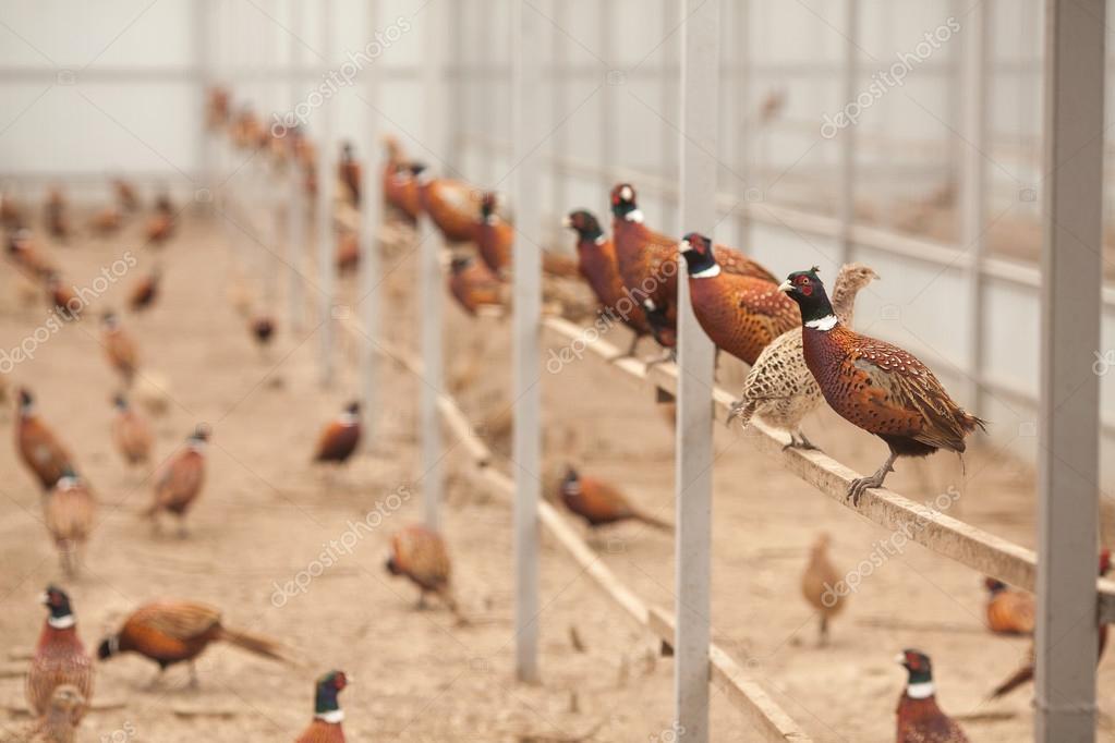 Faisanes En Una Granja De Aves De Corral