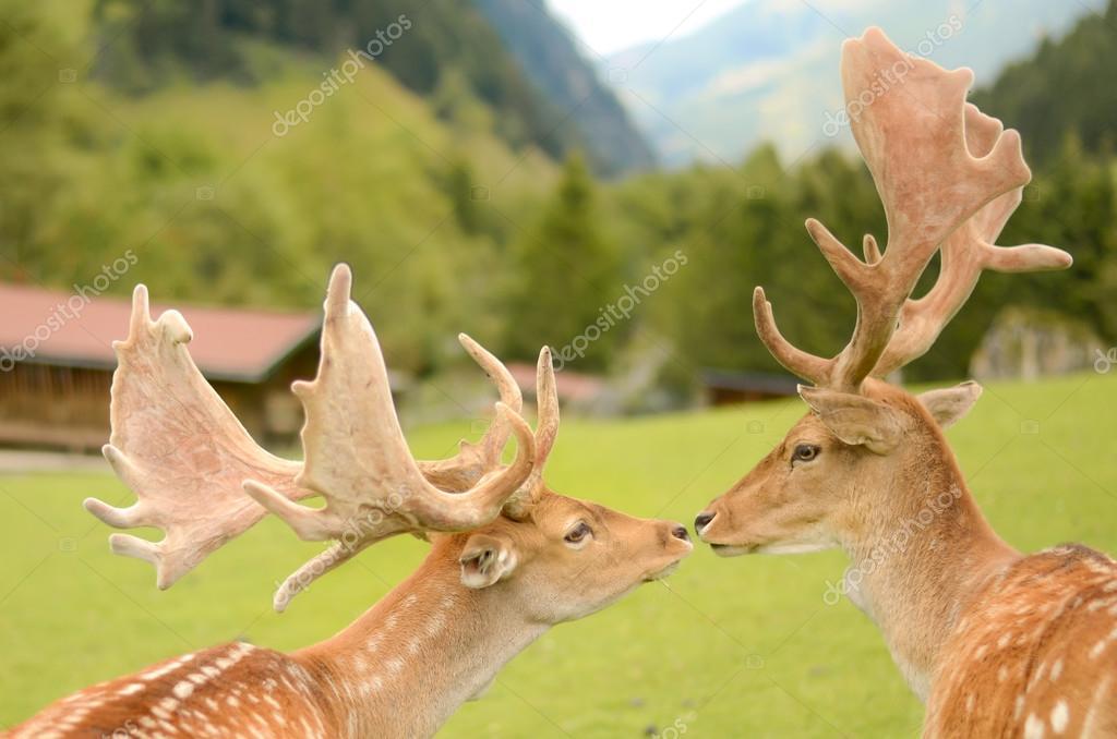 Twee herten kussen in de bergen dierlijke liefde u2014 stockfoto © j