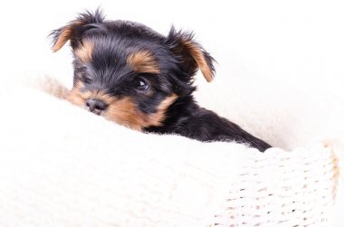 Portrait of cute yorkshire terrier puppy, 2 months old, isolated on white.