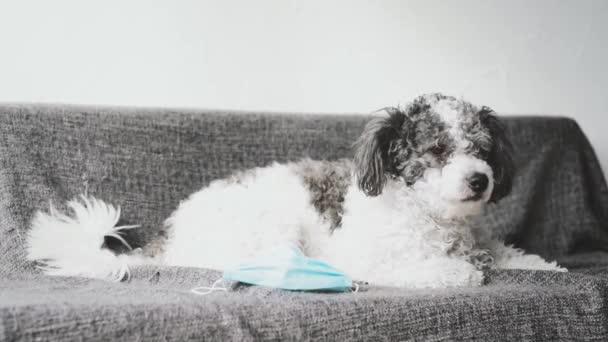 Hund sitzt mit blauer Stoffmaske auf dem Sofa.