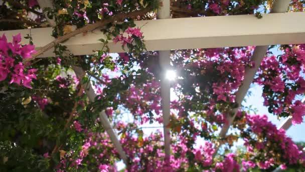 bougainvillea růžová proti obloze.