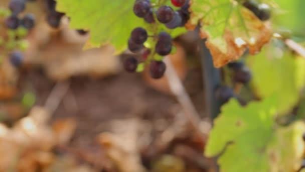 A reggeli nap vad szőlő