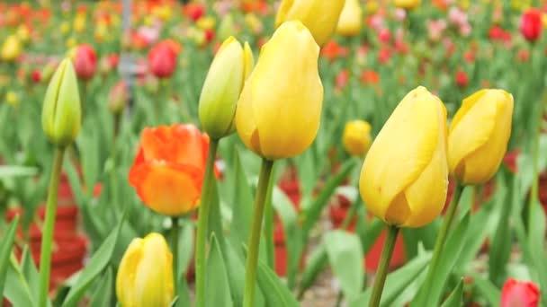 Krásné žluté tulipány pohybující se ve větru na zahradu ráno