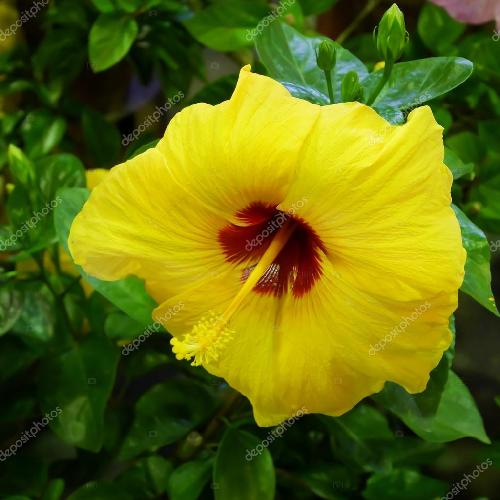 The close up of beautiful yellow shoe flower hibiscus or china rose the close up of beautiful yellow shoe flower hibiscus or china rose stock izmirmasajfo