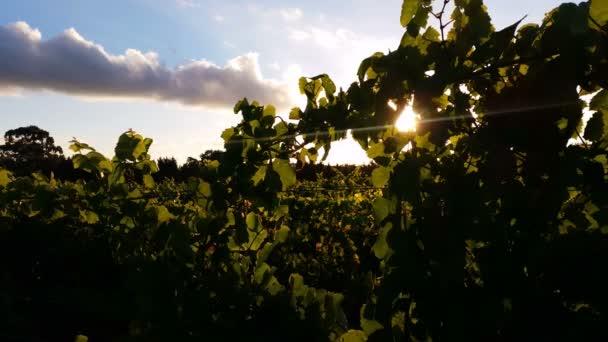 Vineyard grape sunset landscape