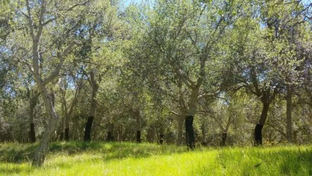 Dub korkový strom v lese v letní den
