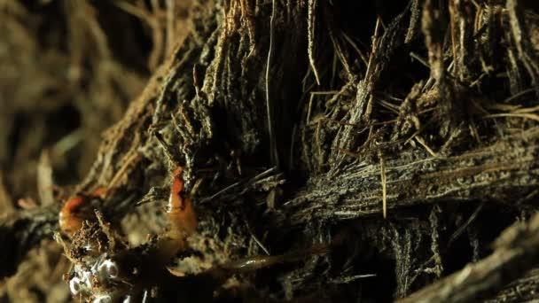 Cikáda nymfa horolezecké strom