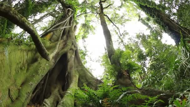 Fig tree - Temperate Rainforest Australian Landscape