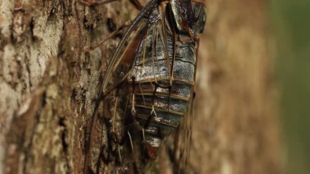 Cicada insect singing mating call on tree (close up)