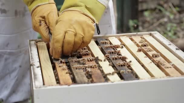 Pulling out Honey bee macro footage of bee hive and apiarist beekeeper