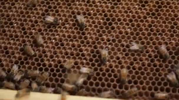 Cell Honey bee macro footage of bee hive and honey production beekeeper