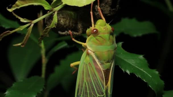 Cicada Enclosing - Cicadinae australasiae 16