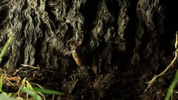 Cicada nymph climbing tree