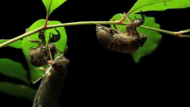 Greengrocer Cicada - Cicadinae australasiae 6