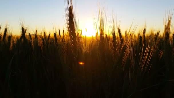 Nature Scenic Landscape Wheat field sunset