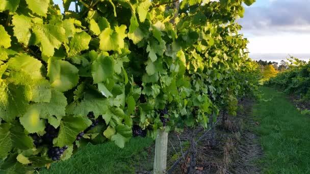 Vineyards landscape at sunset