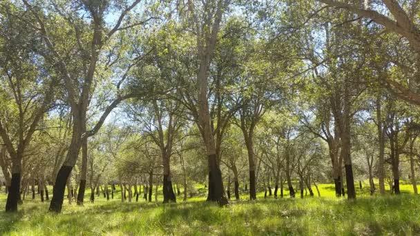 Parafa tölgyfa nyári nap