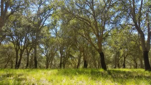 Cork Oak Tree Forest Summer Day