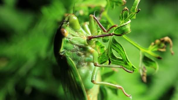 grünes Lebensmittelinsekt - Cyclochila australasiae