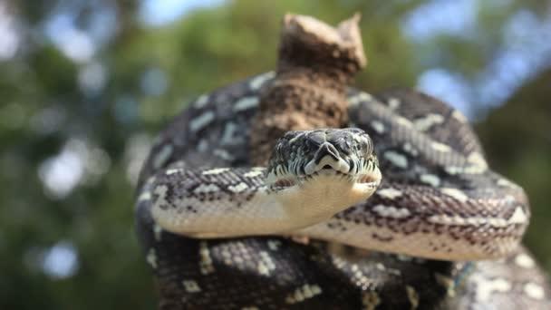 Snake Reptile Ready to Strike - Diamond Python