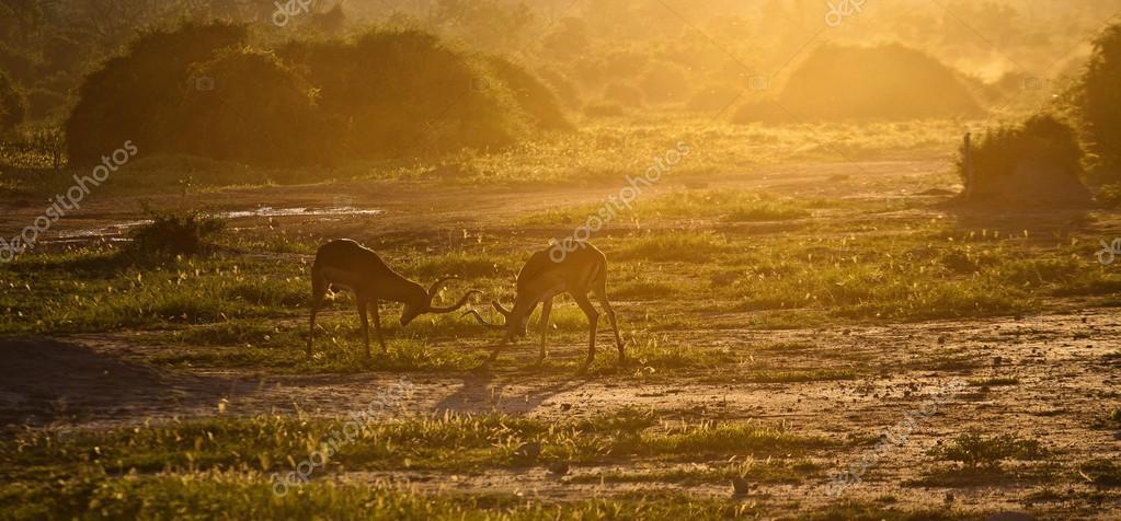 Impala antelopes fighting at sunset