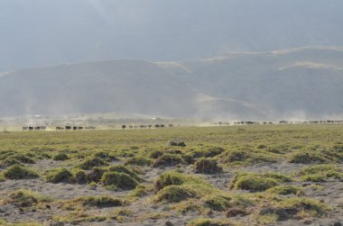 masai's cow herd next to  Ol Doinyo Lengai in Tanzania