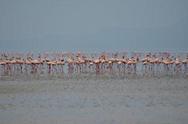 pink flamingos in Lake Natron in Tanzania