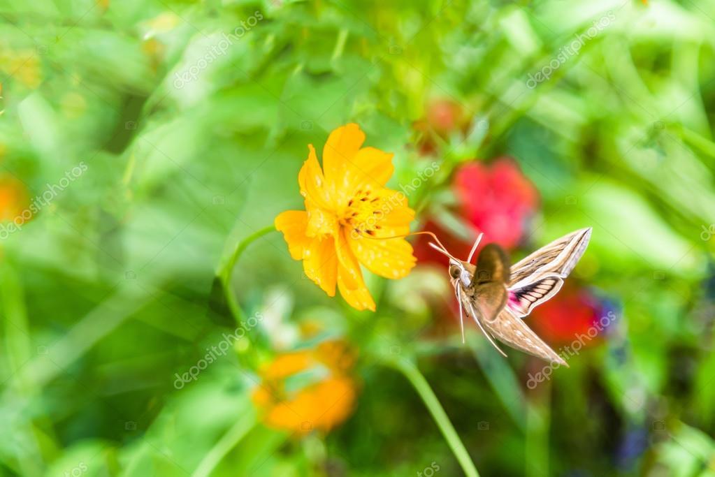 Kolibri-Motte (weiß gesäumten Sphinx Nachtfalter) fliegen und ...