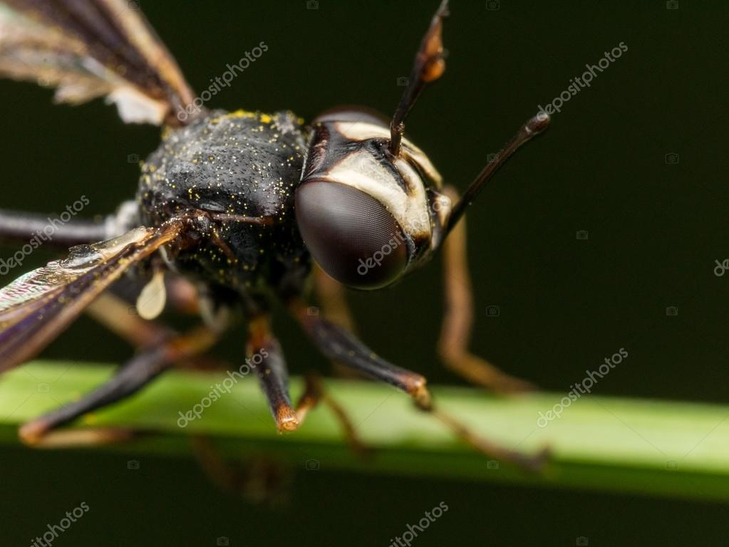 Schwarze Wespe Mit Gebrochenen Flügel Auf Grüne Pflanze Stockfoto