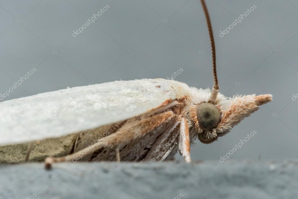 Papillon de nuit blanche aux yeux verts sur la vue de profil de surface grise photographie - Signification papillon de nuit ...