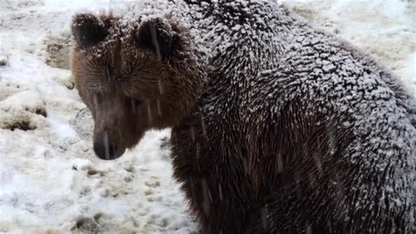 The brown bear in snow at nature winter