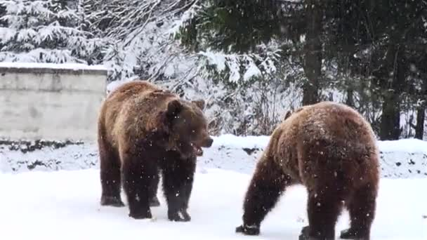 Two bears playing in the forest winter