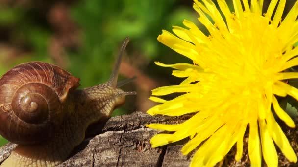 Hlemýždi na jaře s Pampeliška květ