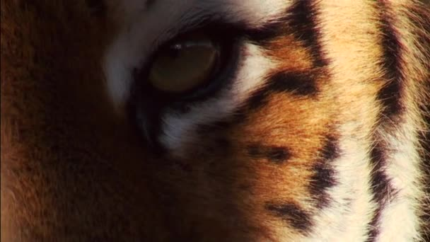 szibériai tigris kellemes erdei