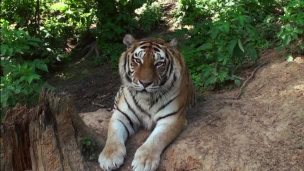 Sibiřský tygr v forrest
