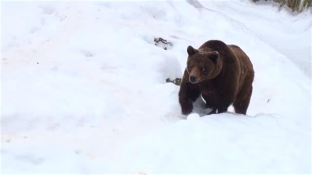 A barna medve, a hó a téli természet