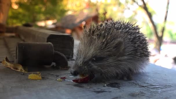 Sweet baby hedgehog in the garden. Ultra hd 4k, real time.