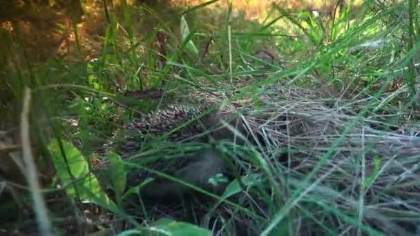 Édes baba süni a kertben. Ultra hd 4k, valós időben.